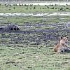 lioness prey by CYAN5DE