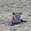 lioness by CYAN5DE