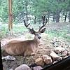 deer by Camp