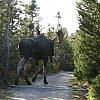 moose2 by The Man With The Plan